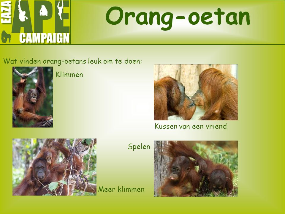 Orang-oetan Wat vinden orang-oetans leuk om te doen: Klimmen Kussen van een vriend Spelen Meer klimmen