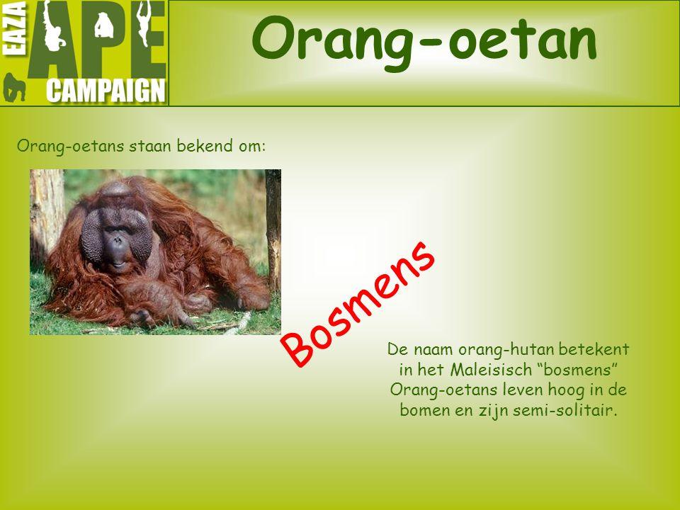 """Orang-oetan Orang-oetans staan bekend om: Bosmens De naam orang-hutan betekent in het Maleisisch """"bosmens"""" Orang-oetans leven hoog in de bomen en zijn"""