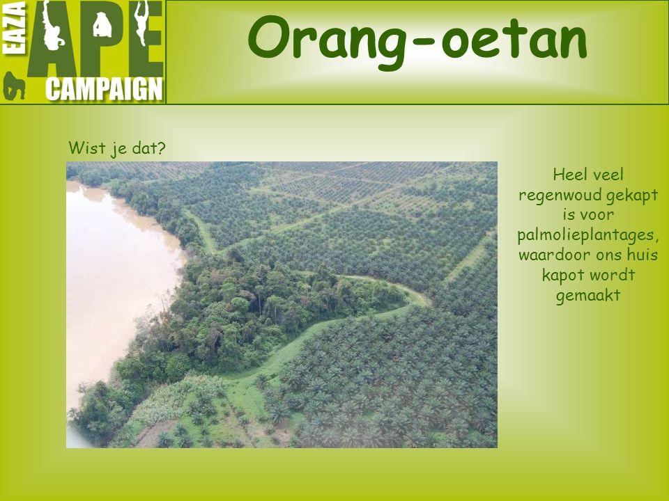 Orang-oetan Wist je dat? Heel veel regenwoud gekapt is voor palmolieplantages, waardoor ons huis kapot wordt gemaakt