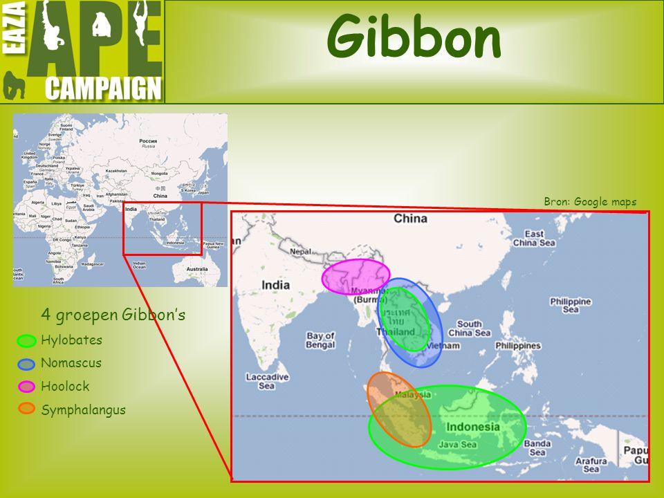 Gibbon 4 groepen Gibbon's Hylobates Nomascus Hoolock Symphalangus Bron: Google maps