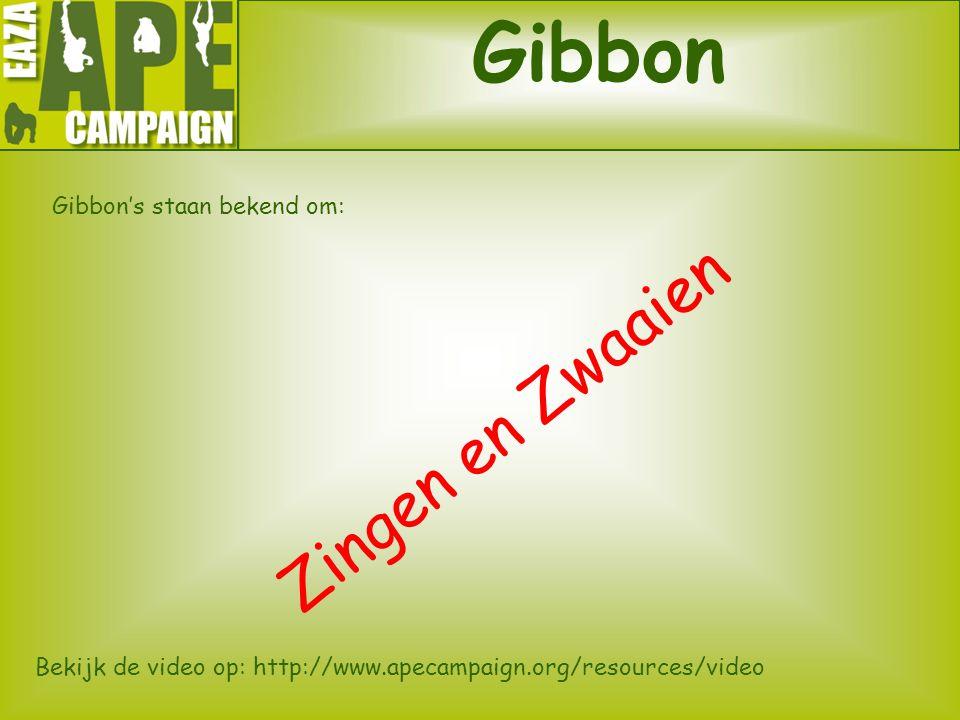 Gibbon Gibbon's staan bekend om: Zingen en Zwaaien Bekijk de video op: http://www.apecampaign.org/resources/video