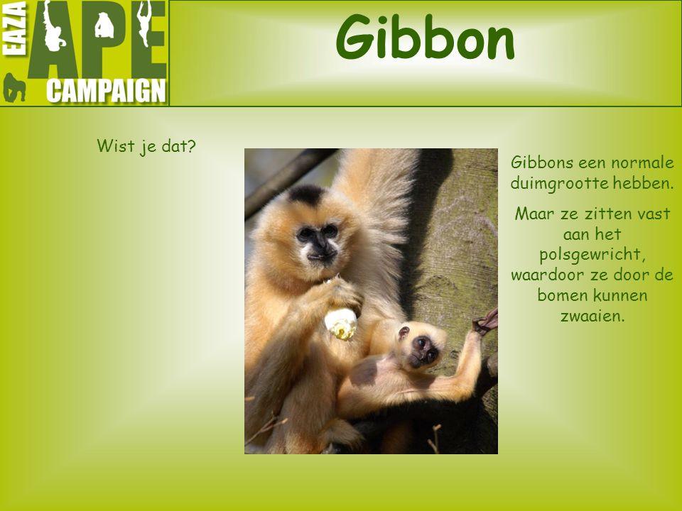 Gibbon Wist je dat? Gibbons een normale duimgrootte hebben. Maar ze zitten vast aan het polsgewricht, waardoor ze door de bomen kunnen zwaaien.