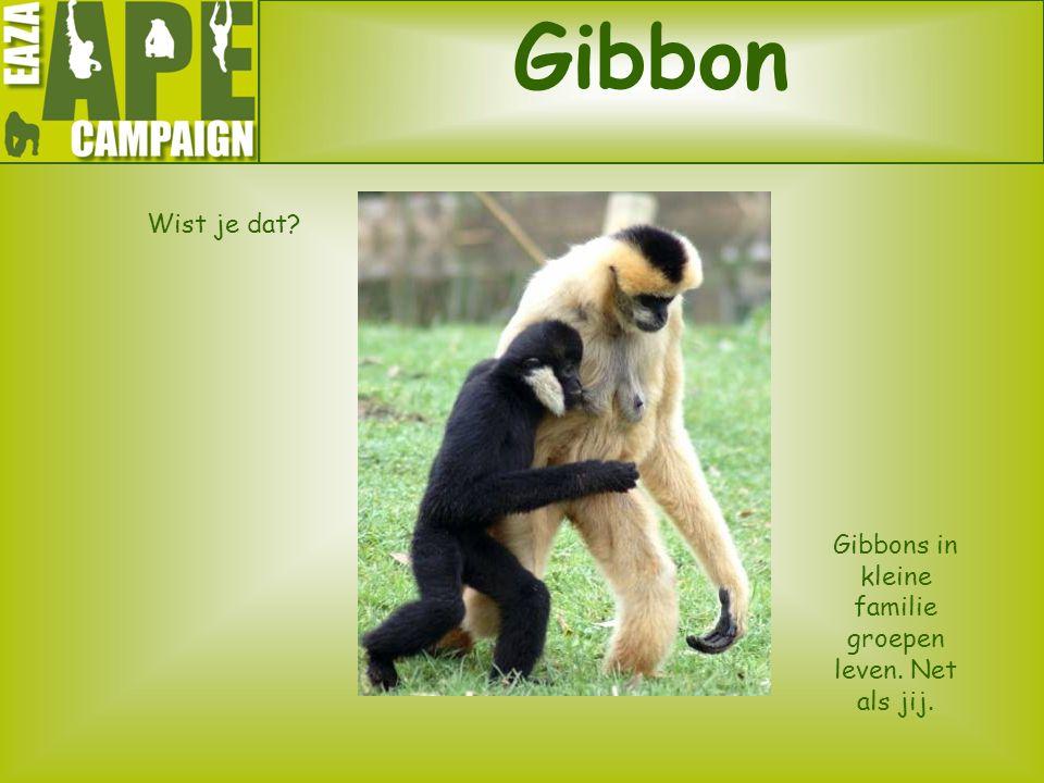 Gibbon Wist je dat? Gibbons in kleine familie groepen leven. Net als jij.