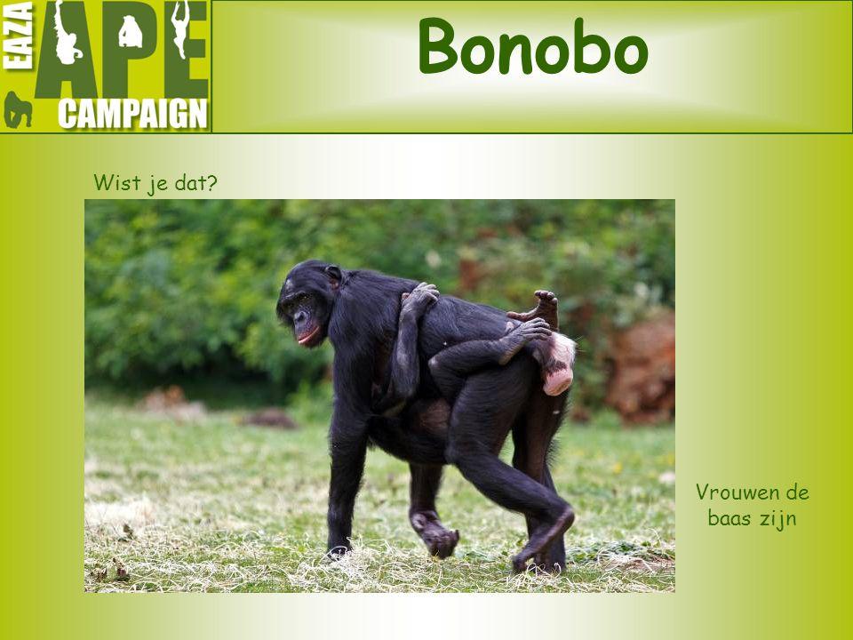 Bonobo Wist je dat? Vrouwen de baas zijn