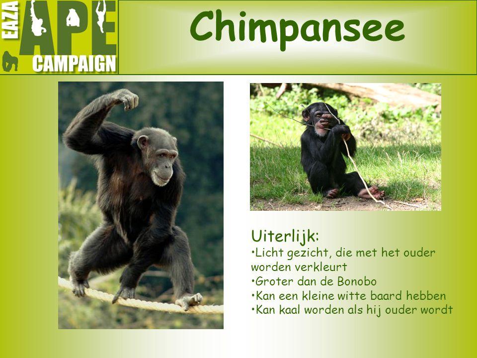Chimpansee Uiterlijk: •Licht gezicht, die met het ouder worden verkleurt •Groter dan de Bonobo •Kan een kleine witte baard hebben •Kan kaal worden als
