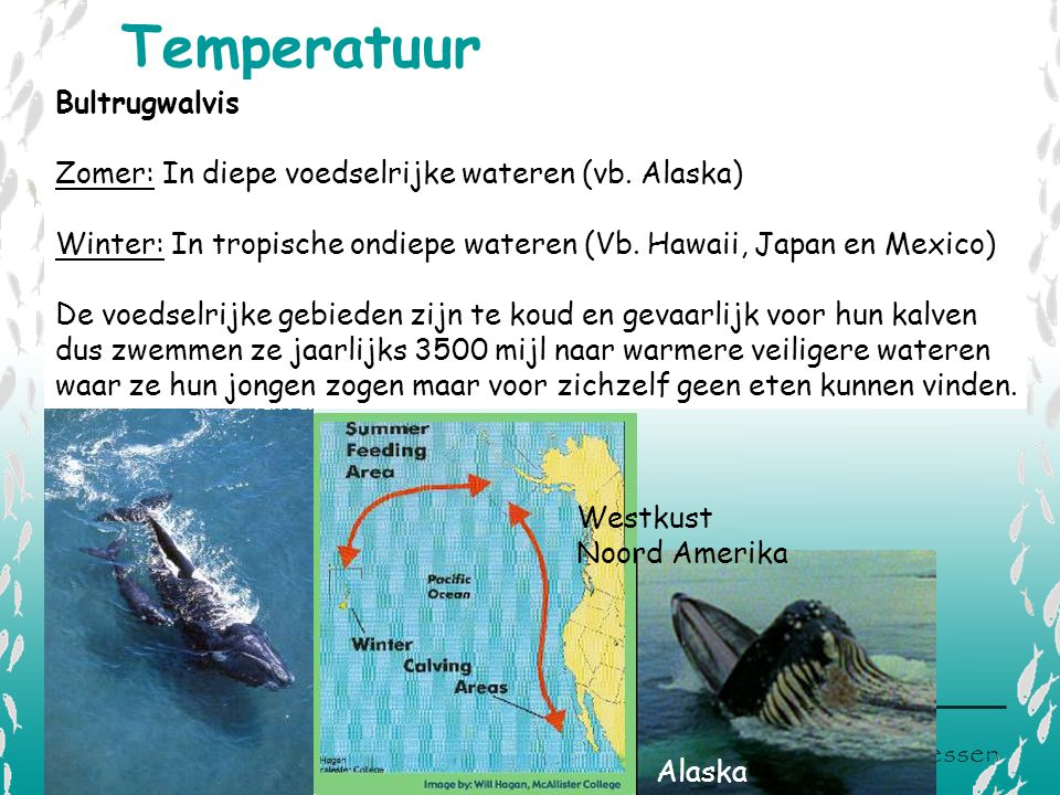 V L I Z www.vliz.be/educatie Zeelessen Westkust Noord Amerika Temperatuur Hawaii Alaska Bultrugwalvis Zomer: In diepe voedselrijke wateren (vb. Alaska
