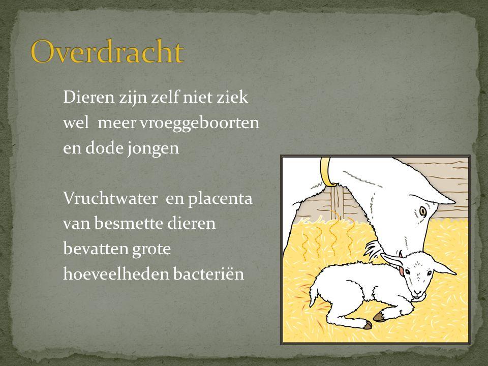Dieren zijn zelf niet ziek wel meer vroeggeboorten en dode jongen Vruchtwater en placenta van besmette dieren bevatten grote hoeveelheden bacteriën