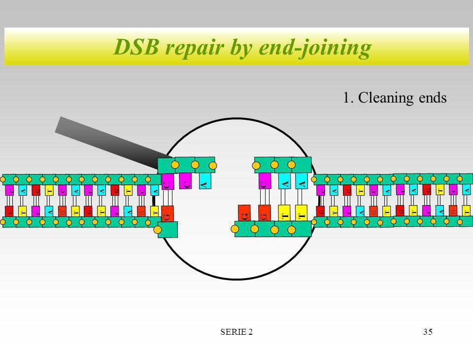 SERIE 235 DSB repair by end-joining A T T G G C A A T G C C A T T G G C A A T G C C GG CA T A A T T G G C A A T G C C T A G C C A T T G G C A A T G C