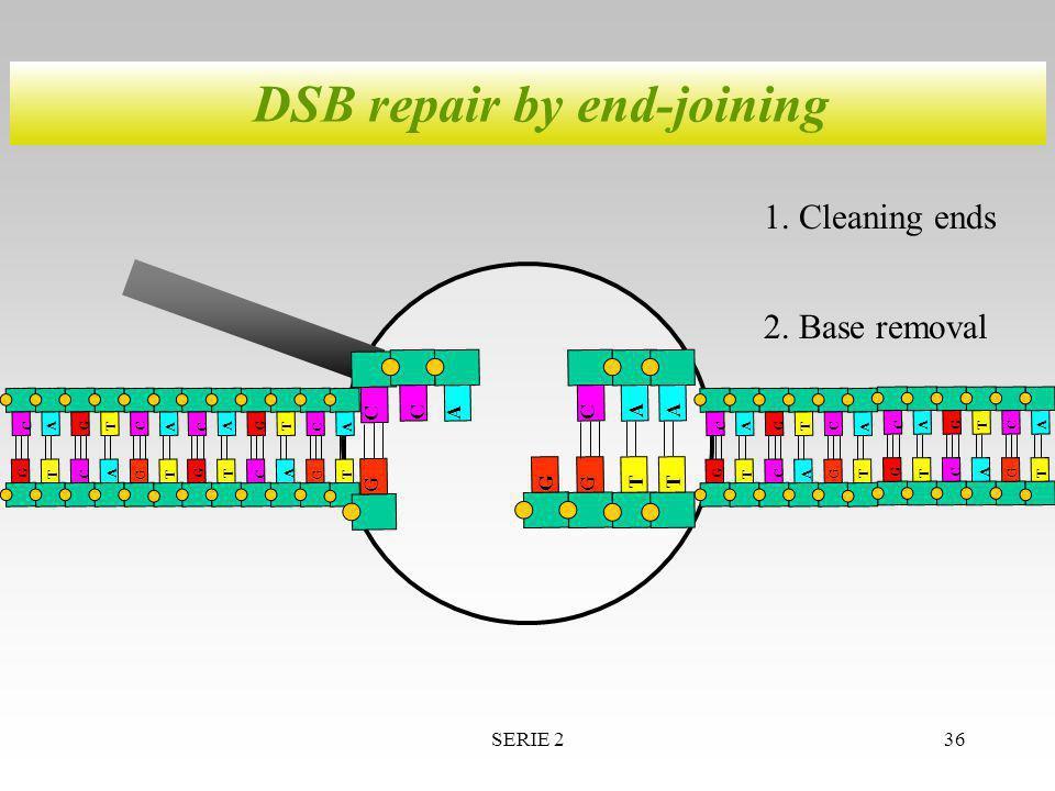 SERIE 236 DSB repair by end-joining A T T G G C A A T G C C A T T G G C A A T G C C GG CA T A A T T G G C A A T G C C T A G C C A T T G G C A A T G C