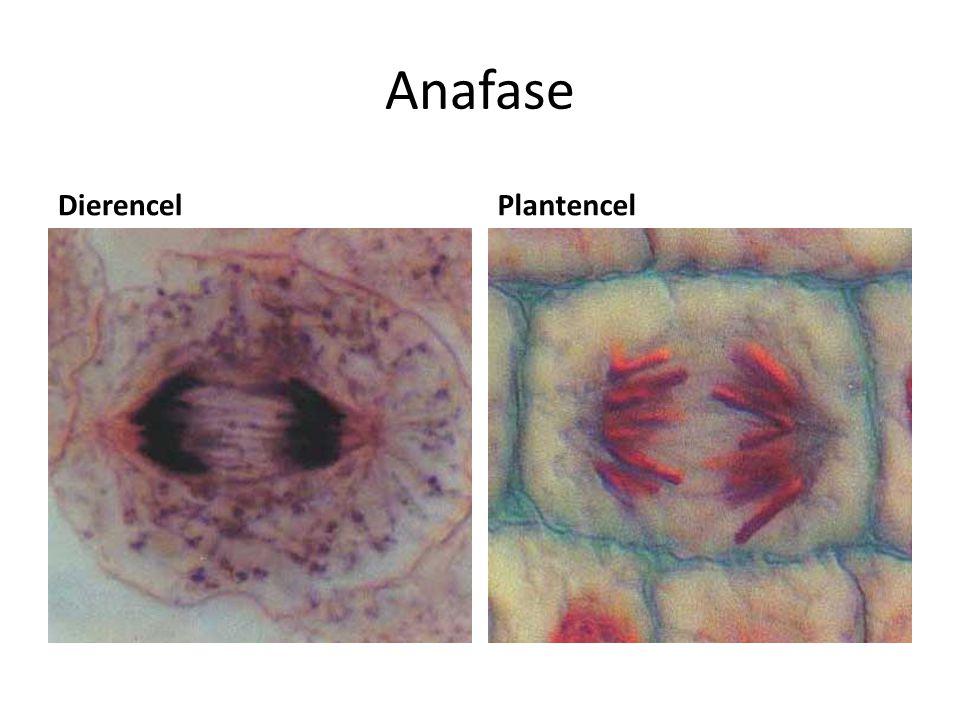 Anafase DierencelPlantencel