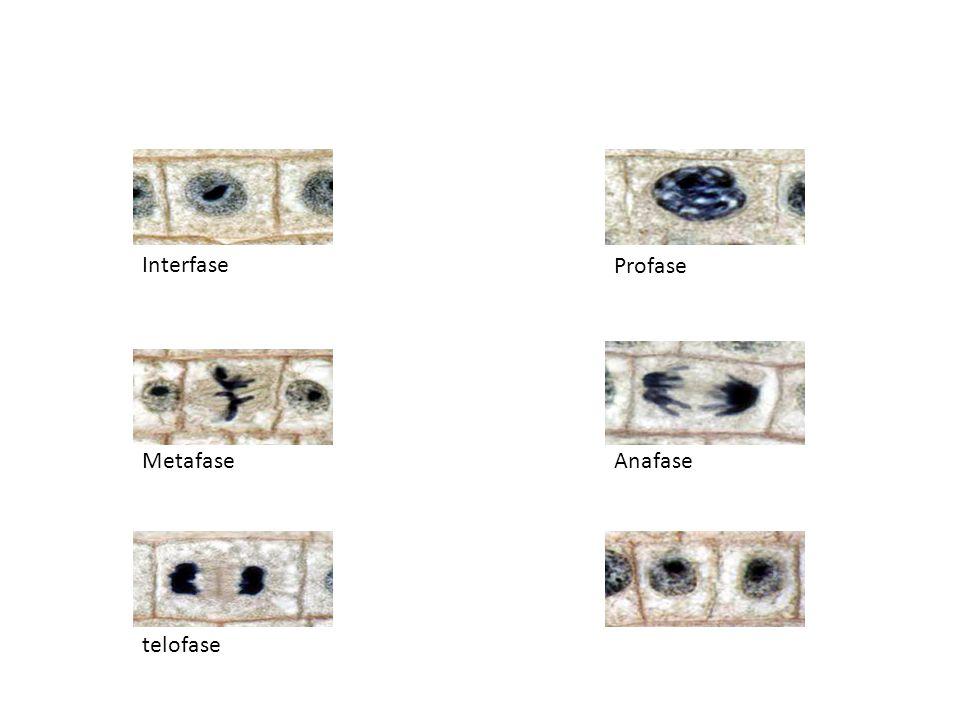 Interfase Metafase telofase Anafase Profase