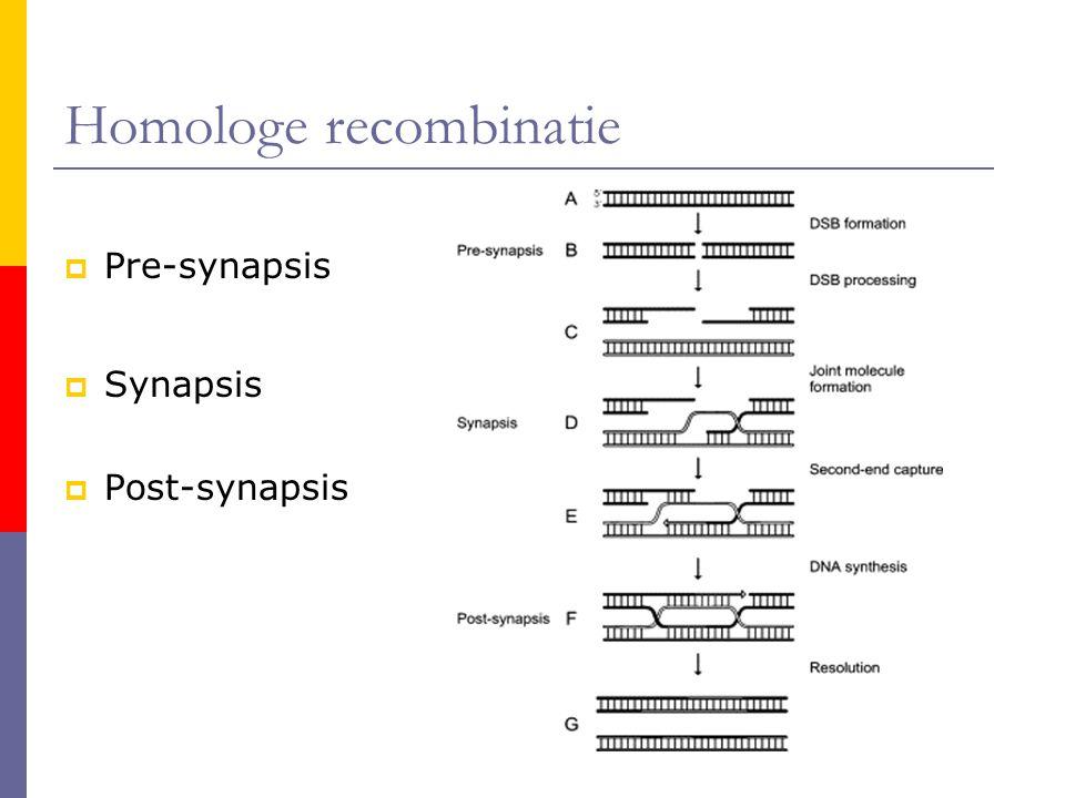 Homologe recombinatie  Pre-synapsis  Synapsis  Post-synapsis