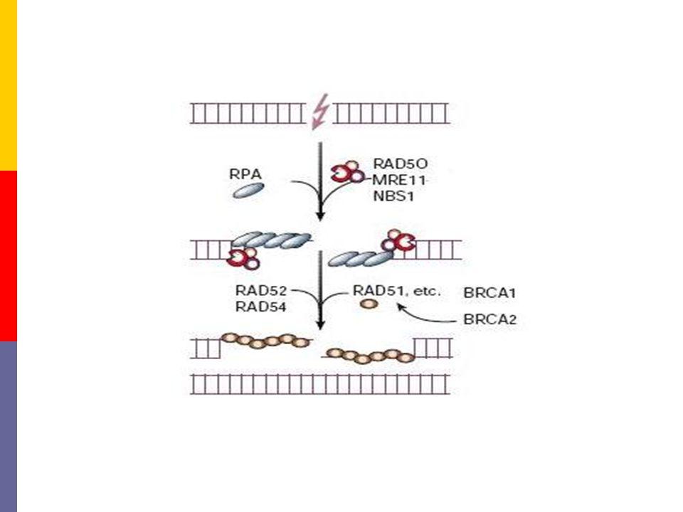 Pre-synapsis  Herkennen van de schade -D.m.v. het eiwit RPA  'End processing' -D.m.v. een eiwitcomplex: RAD50/MRE11/NBS1  Zoeken naar de juiste vol