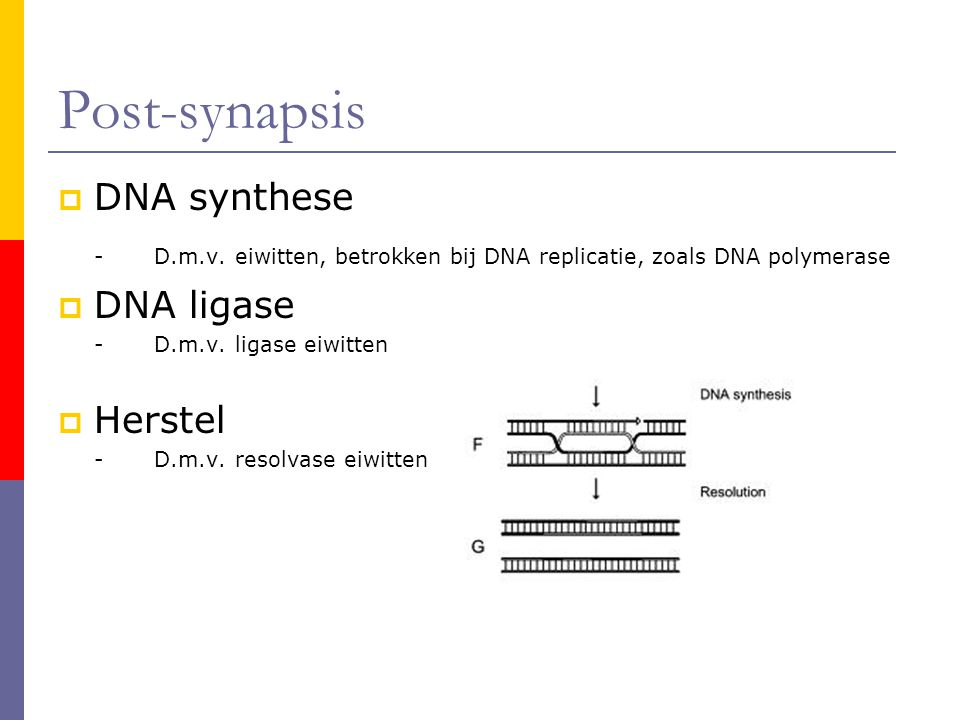 Post-synapsis  DNA synthese -D.m.v.