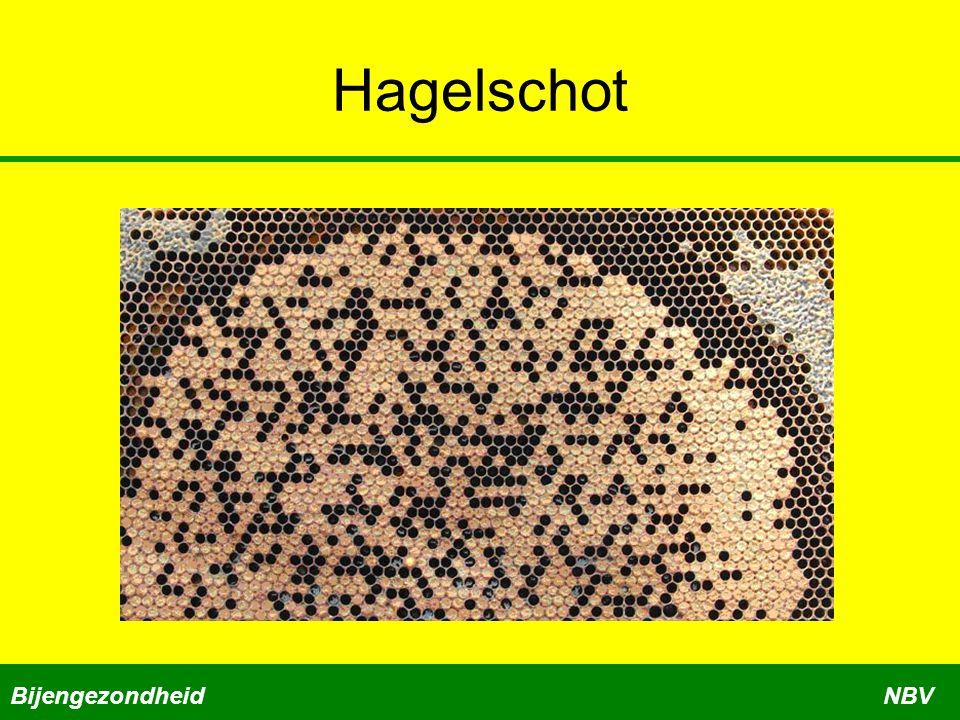 Hagelschot BijengezondheidNBV