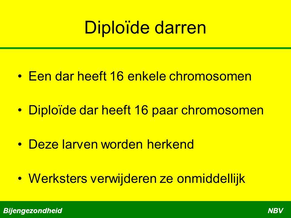Diploïde darren •Een dar heeft 16 enkele chromosomen •Diploïde dar heeft 16 paar chromosomen •Deze larven worden herkend •Werksters verwijderen ze onm