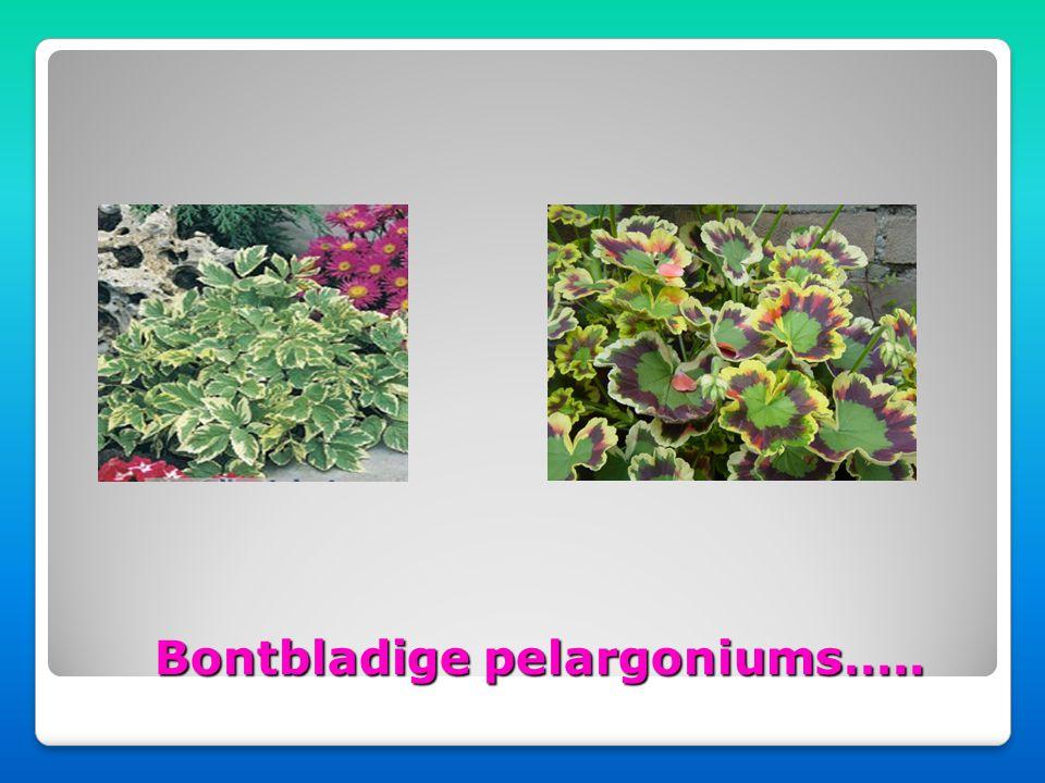 Hang pelargonium Staande pelargonium