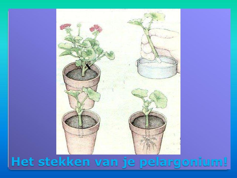 Eind september naar binnen!!!  Beste plaats voor je pelargonium:  Volle grond → water geven in het begin!!!  Pot buiten→ bij mooi weer elke dag wat