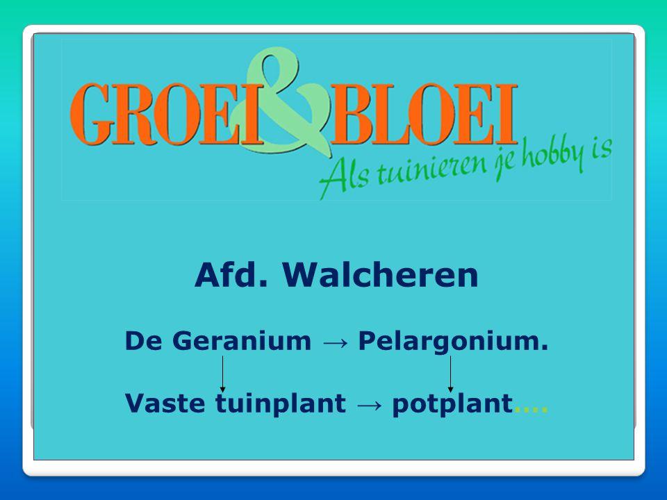 Afd. Walcheren De Geranium → Pelargonium. Vaste tuinplant → potplant….
