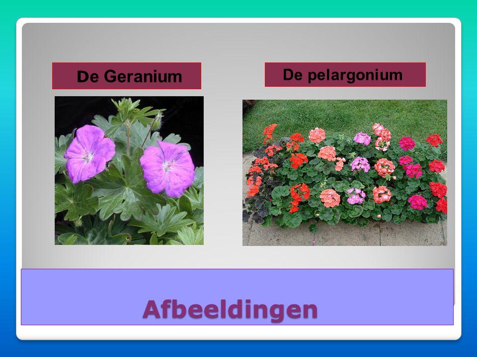 Verschillen tussen de Geranium en de Pelargonium Verschillen tussen de Geranium en de Pelargonium De Geranium  Plant voor in de volle grond.  Kan in