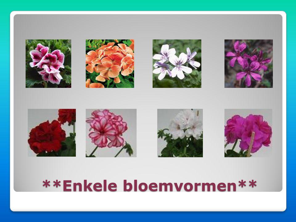 Er zijn 250 verschillende soorten Pelargoniums. Het verschil zit hem in: • De bladvormen • De bladkleuren • De bloemvormen • De bloemkleuren • De blad
