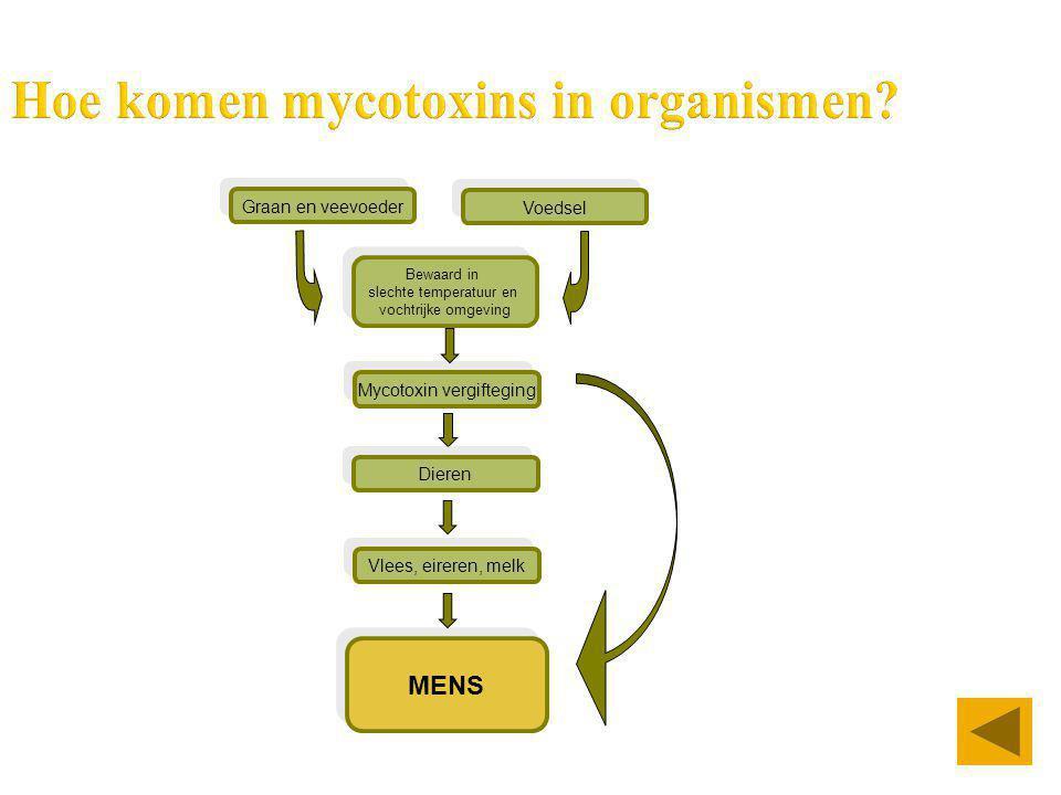 Hoe komen mycotoxins in organismen? Graan en veevoeder MENS Voedsel Bewaard in slechte temperatuur en vochtrijke omgeving Mycotoxin vergifteging Diere