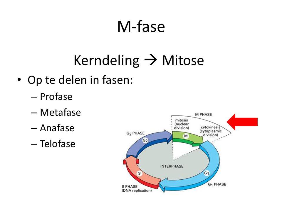 M-fase Kerndeling  Mitose • Op te delen in fasen: – Profase – Metafase – Anafase – Telofase