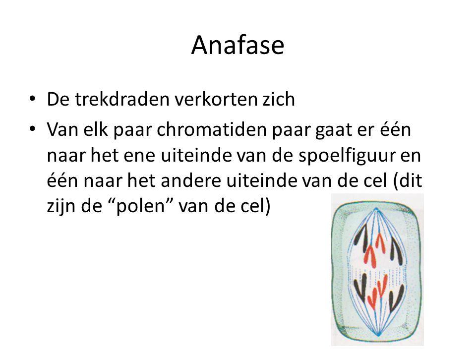 Anafase • De trekdraden verkorten zich • Van elk paar chromatiden paar gaat er één naar het ene uiteinde van de spoelfiguur en één naar het andere uiteinde van de cel (dit zijn de polen van de cel)