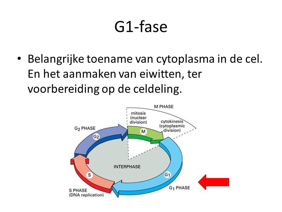 S-Fase • Erfelijke materiaal (DNA) wordt verdubbeld.