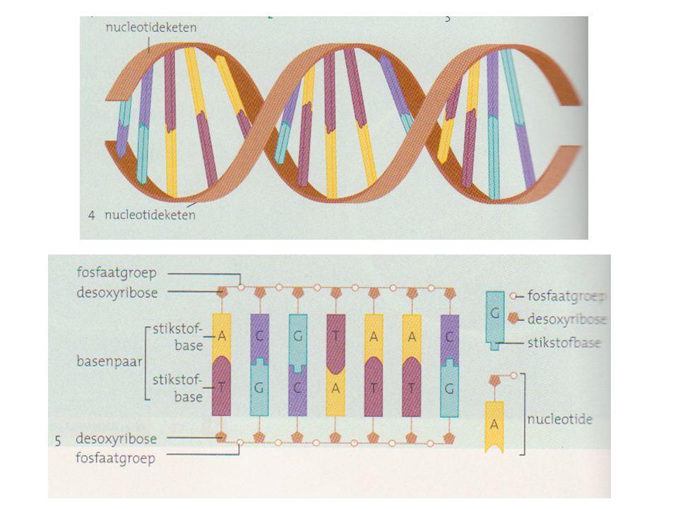 S-fase • DNA verdubbeling: – Stikstofbasen die de nucleotide ketens met elkaar verbinden laten los – Er ontstaan twee Halve DNA moleculen – Halve DNA strengen worden aangevuld met nieuwe nucleotiden: twee identieke strengen ontstaan!