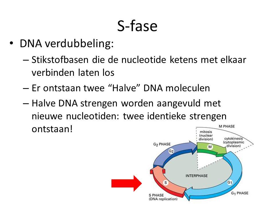 """S-fase • DNA verdubbeling: – Stikstofbasen die de nucleotide ketens met elkaar verbinden laten los – Er ontstaan twee """"Halve"""" DNA moleculen – Halve DN"""
