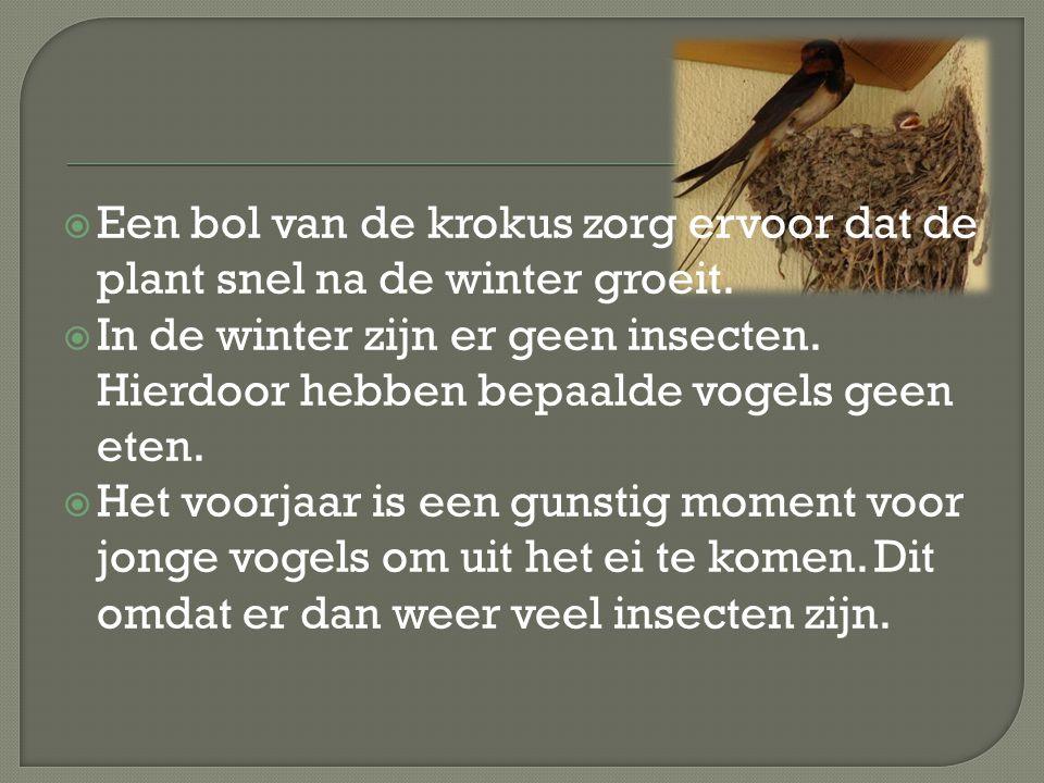  Een bol van de krokus zorg ervoor dat de plant snel na de winter groeit.  In de winter zijn er geen insecten. Hierdoor hebben bepaalde vogels geen