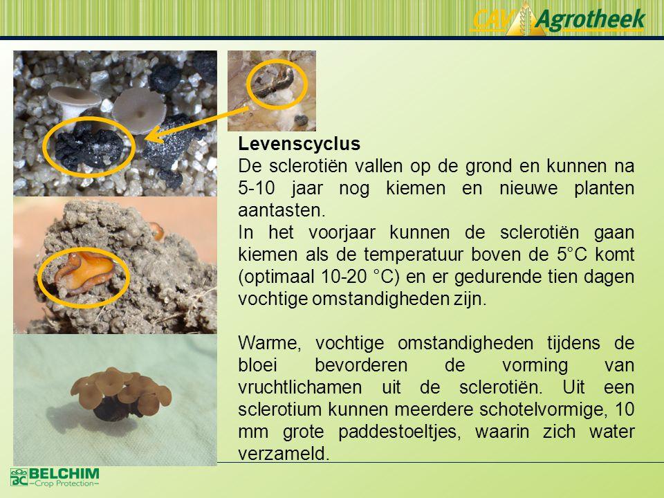 Levenscyclus De sclerotiën vallen op de grond en kunnen na 5-10 jaar nog kiemen en nieuwe planten aantasten.
