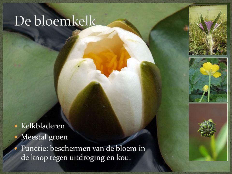 Kelkbladeren  Meestal groen  Functie: beschermen van de bloem in de knop tegen uitdroging en kou.