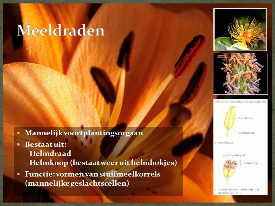 Mannelijk voortplantingsorgaan  Bestaat uit: - Helmdraad - Helmknop (bestaat weer uit helmhokjes)  Functie: vormen van stuifmeelkorrels (mannelijk