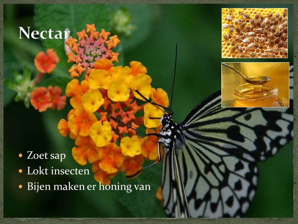  Zoet sap  Lokt insecten  Bijen maken er honing van