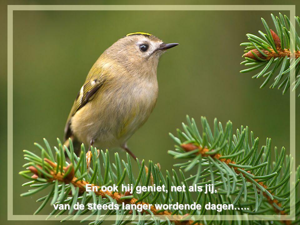 Dit kleine vogeltje, zo grauw van kleur, zingt zijn hoogste lied met veel grandeur.