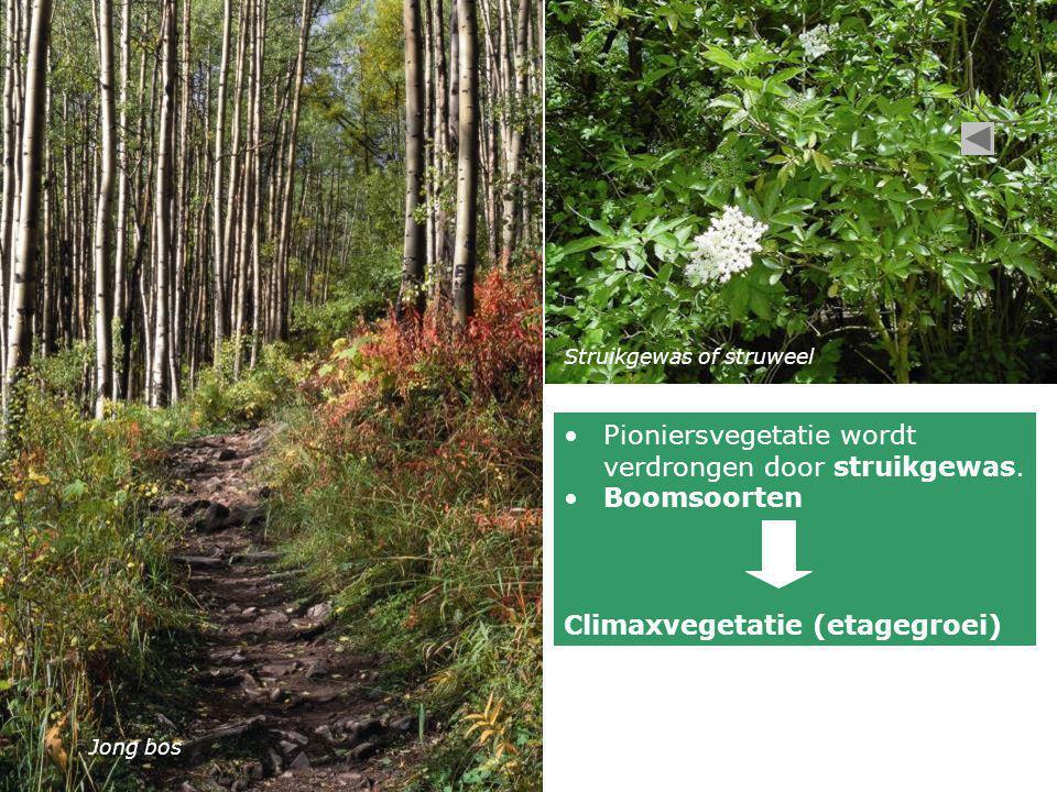 Jong bos Struikgewas of struweel •Pioniersvegetatie wordt verdrongen door struikgewas. •Boomsoorten Climaxvegetatie (etagegroei)