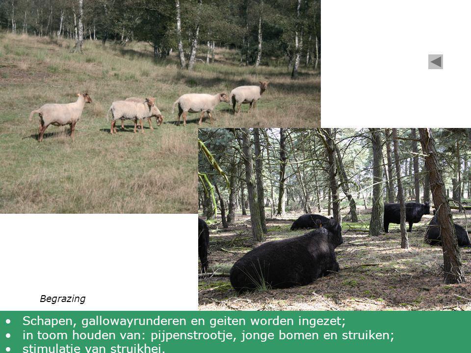 Begrazing •Schapen, gallowayrunderen en geiten worden ingezet; •in toom houden van: pijpenstrootje, jonge bomen en struiken; •stimulatie van struikhei