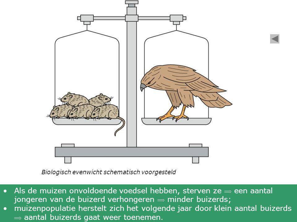 Biologisch evenwicht schematisch voorgesteld •Als de muizen onvoldoende voedsel hebben, sterven ze  een aantal jongeren van de buizerd verhongeren 