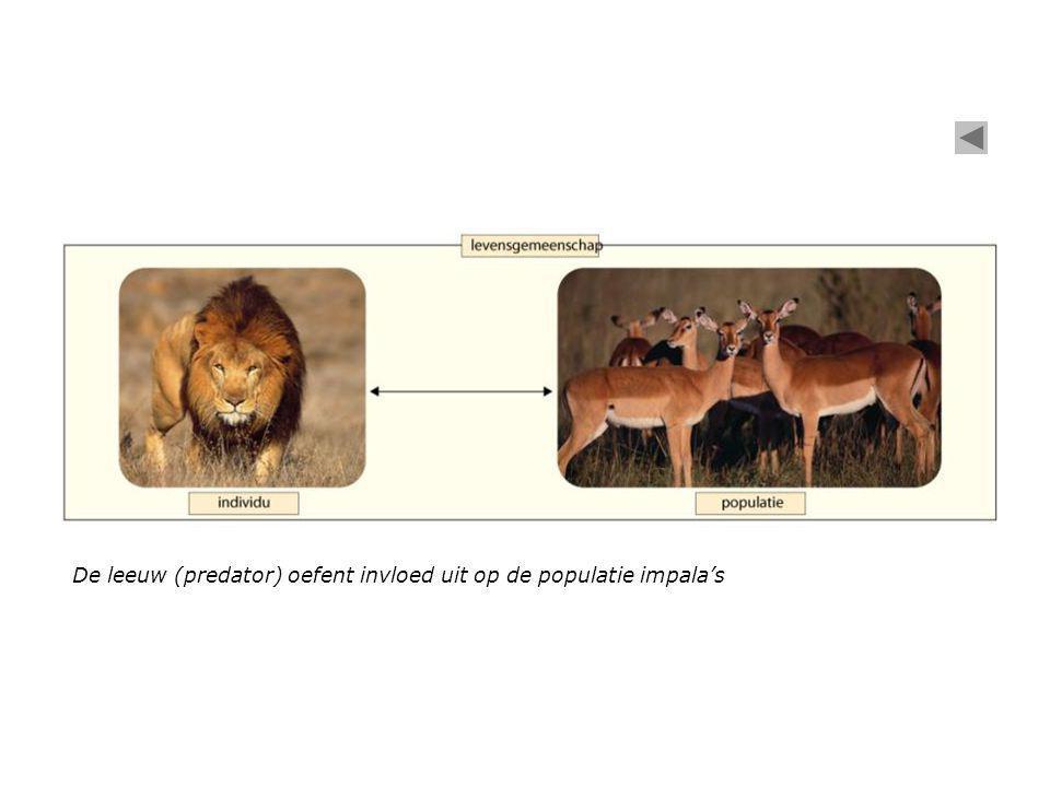 De leeuw (predator) oefent invloed uit op de populatie impala's