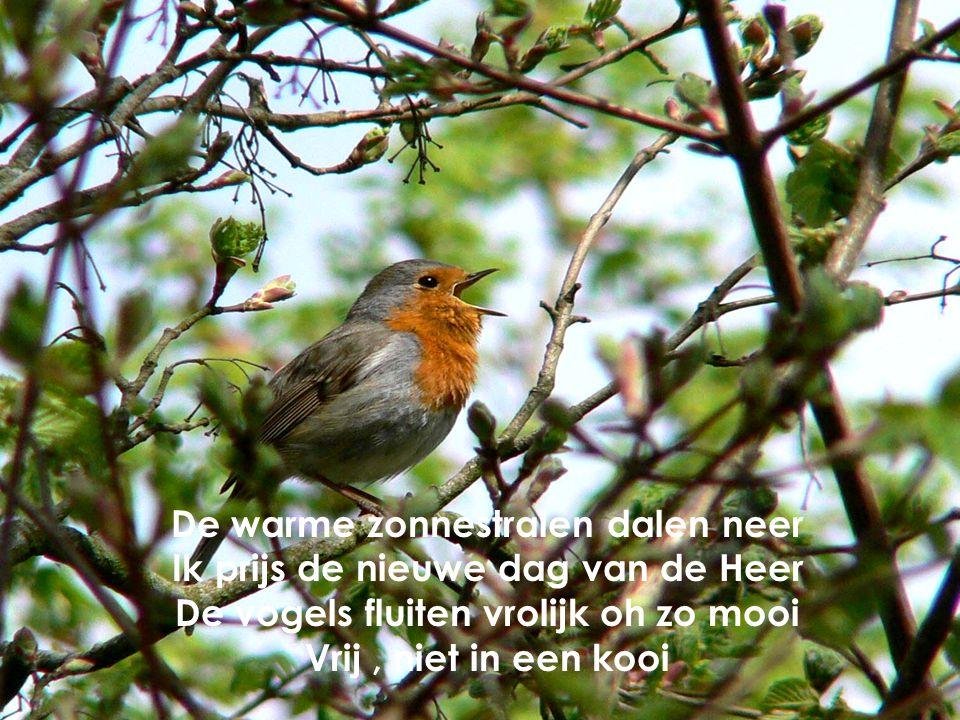 De warme zonnestralen dalen neer Ik prijs de nieuwe dag van de Heer De vogels fluiten vrolijk oh zo mooi Vrij, niet in een kooi