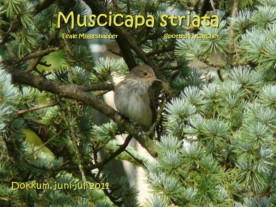 Dokkum, juni-juli 2011 Dokkum, juni-juli 2011 Muscicapa striata Feale Miggesnapper Feale Miggesnapper Spotted Flycatcher Spotted Flycatcher
