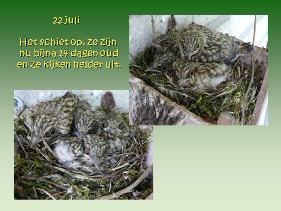 Het schiet op, ze zijn nu bijna 14 dagen oud en ze kijken helder uit. 22 juli 22 juli