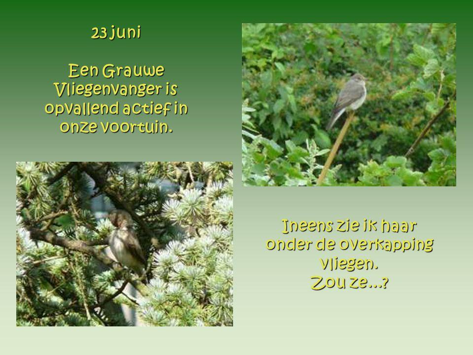 23 juni Een Grauwe Vliegenvanger is opvallend actief in onze voortuin.