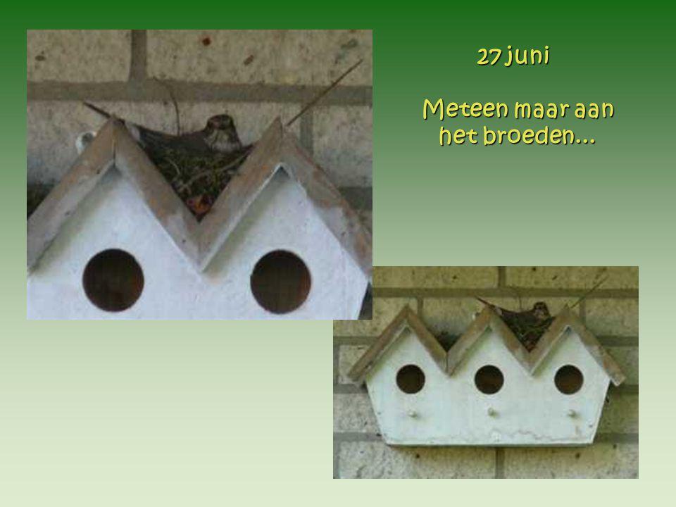 ...ook al...ook al wordt het nest de volgende dag pas compleetgemaakt. 28 juni 28 juni