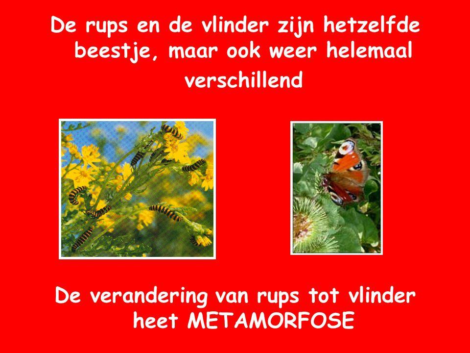 De rups en de vlinder zijn hetzelfde beestje, maar ook weer helemaal verschillend De verandering van rups tot vlinder heet METAMORFOSE