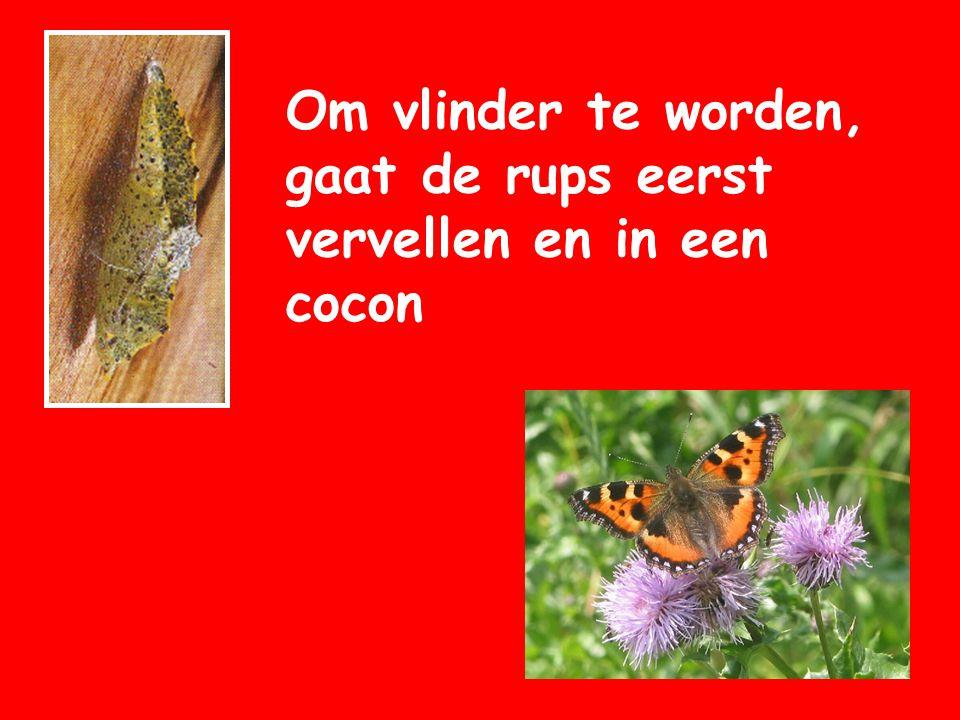 Om vlinder te worden, gaat de rups eerst vervellen en in een cocon