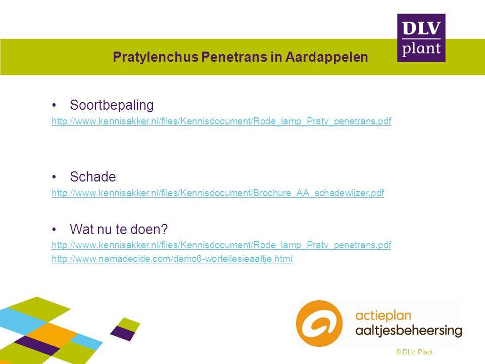 © DLV Plant Pratylenchus Penetrans in Aardappelen Soortbepaling http://www.kennisakker.nl/files/Kennisdocument/Rode_lamp_Praty_penetrans.pdf Schade ht