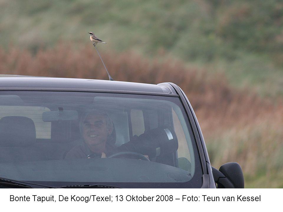 Bonte Tapuit, De Koog/Texel; 13 Oktober 2008 – Foto: Teun van Kessel